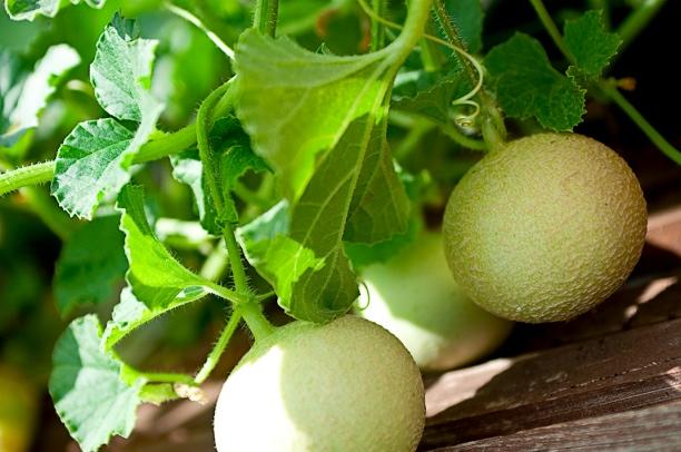 melons-web.jpg