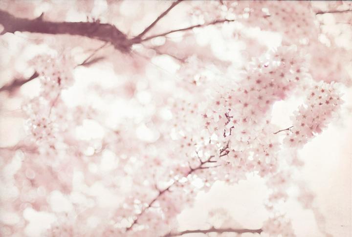 cherryblossom-blog.jpg