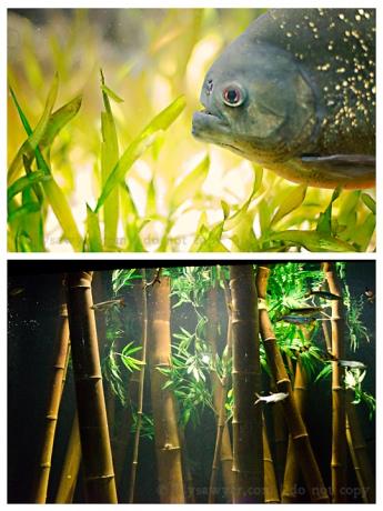 Piranha blog