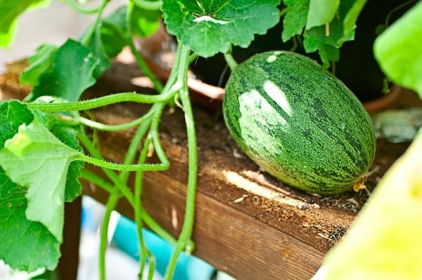 melon-web.jpg