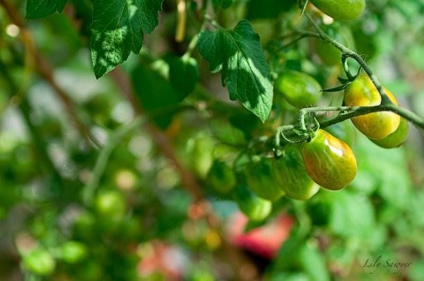 tomato-web.jpg