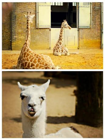 Giraffe blog